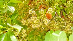 Chiuda su di bella eugenia, fiori della melarosa fotografia stock libera da diritti
