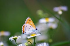Chiuda su di bella farfalla al fiore della margherita Immagine Stock Libera da Diritti