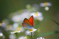 Chiuda su di bella farfalla al fiore della margherita Immagine Stock