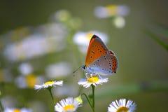 Chiuda su di bella farfalla al fiore della margherita Immagini Stock Libere da Diritti