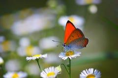 Chiuda su di bella farfalla al fiore della margherita Fotografia Stock Libera da Diritti