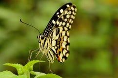 Chiuda su di bella farfalla gialla e nera Immagini Stock Libere da Diritti