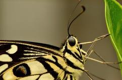 Chiuda su di bella farfalla gialla e nera Immagine Stock