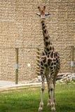 Chiuda su di bella giraffa Immagini Stock