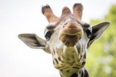 Chiuda su di bella giraffa Fotografia Stock