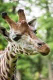 Chiuda su di bella giraffa Fotografia Stock Libera da Diritti