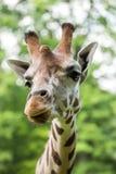 Chiuda su di bella giraffa Fotografie Stock