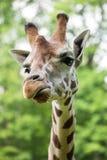 Chiuda su di bella giraffa Immagini Stock Libere da Diritti