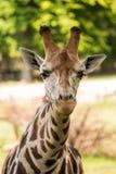 Chiuda su di bella giraffa Fotografie Stock Libere da Diritti