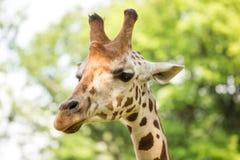 Chiuda su di bella giraffa Immagine Stock Libera da Diritti
