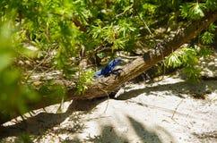 Chiuda su di bella iguana blu che posa sopra un ramo dentro di una foresta in spiaggia di San Andres fotografia stock libera da diritti