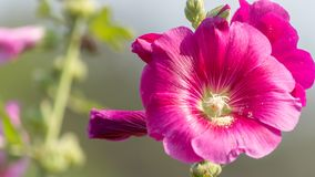 Chiuda su di bella malvaceae porpora del Alcea dei fiori della malvarosa fotografia stock libera da diritti