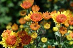 Chiuda su di belle margherite gialle della gerbera sul fondo della natura Fotografia Stock Libera da Diritti