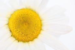 Chiuda su di bellezza un fiore bianco della margherita con polline giallo sporco sul petalo Fondo o carta da parati di textture d immagine stock