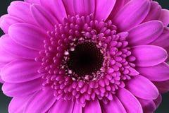 Chiuda su di bello blossum rosa della gerbera fotografie stock libere da diritti