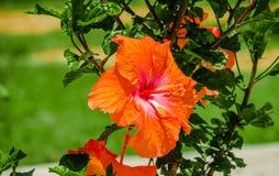 Chiuda su di bello fiore arancio situato nel parco di nuovo boulevar nel mainstreet nel viale dell'Amazonas nella città di Fotografia Stock
