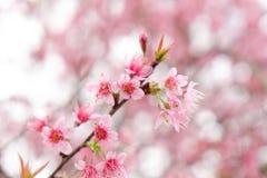 Chiuda su di bello fiore di ciliegia rosa nell'inverno, sakura tailandese a MAI di Chaing immagini stock libere da diritti