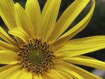Chiuda su di bello fiore giallo 14 Fotografia Stock