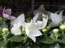 Chiuda su di bianco e gli ibischi porpora fioriscono con molti germogli e con le foglie verdi sui precedenti nel giardino immagine stock libera da diritti