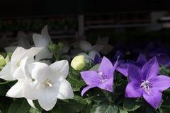 Chiuda su di bianco e gli ibischi porpora fioriscono con molti germogli e con le foglie verdi sui precedenti nel giardino fotografie stock