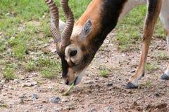 Chiuda su di Blackbuck che mangia il fagiolo lungo Fotografie Stock