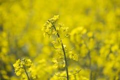 Chiuda su di canola o del seme di ravizzone Immagine Stock