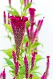 Chiuda su di cockscomb flower2 Fotografia Stock Libera da Diritti