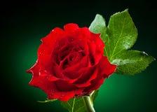 Chiuda in su di colore rosso è aumentato Fotografie Stock Libere da Diritti