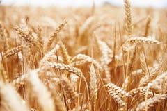 Chiuda su di crescita di raccolto del grano nel campo Fotografia Stock Libera da Diritti