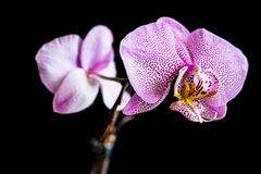 Chiuda su di due fiori punteggiati rosa dell'orchidea di phalaenopsis Fotografia Stock