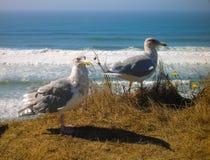 Chiuda su di due gabbiani di mare sulla spuma di trascuratezza della scogliera immagine stock