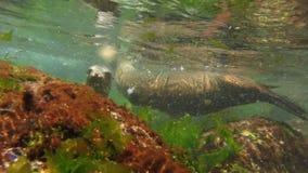 Chiuda su di due leoni marini che giocano underwater video d archivio