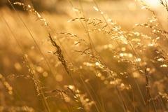 Chiuda su di erba dorata sul tramonto Immagine Stock