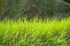 Chiuda su di erba spessa fresca con le gocce di acqua nel primo mattino Immagine Stock