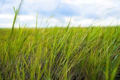 Chiuda su di erba spessa fresca con le gocce di acqua nel primo mattino Fotografia Stock Libera da Diritti