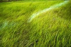 Chiuda su di erba spessa fresca con le gocce di acqua nel primo mattino Fotografie Stock Libere da Diritti