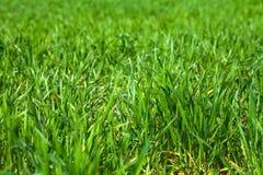 Chiuda in su di erba verde Fotografia Stock