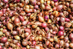 Chiuda su di essiccamento dell'allium cepa nazionale variopinto delle cipolle sul fondo netto dell'essiccatore Il mucchio di vari Immagine Stock Libera da Diritti