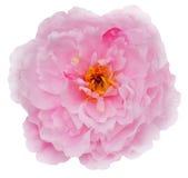 Chiuda su di fioritura variopinta del fiore del petalo Fotografia Stock Libera da Diritti
