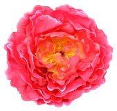 Chiuda su di fioritura variopinta del fiore del petalo Fotografia Stock