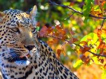 Chiuda su di giovane leopardo maschio che glanzing alla destra fotografie stock