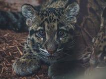 Chiuda su di giovane nebulosa di neofelis del leopardo nebuloso che esamina la macchina fotografica immagini stock libere da diritti