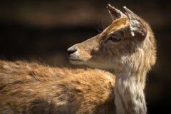 Chiuda su di giovani cervi che guardano dietro se stesso Fotografie Stock