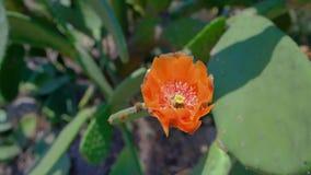 Chiuda su di grande fiore dell'opunzia del cactus o della pianta del fico d'India stock footage