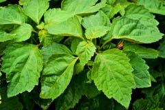 Chiuda su di grandi foglie sulla pianta del pachouli immagini stock libere da diritti