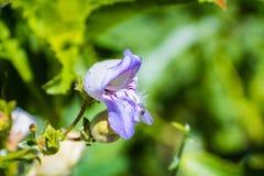 """Chiuda su di Grinnell \ """"del wildflower del beardtongue di s (grinnellii del Penstemon) che fioriscono nella foresta nazionale di fotografia stock"""