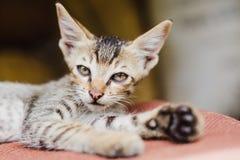 Chiuda su di Kitten Playing nepalese sveglia a casa Immagine Stock