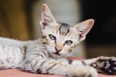 Chiuda su di Kitten Playing nepalese sveglia a casa Immagine Stock Libera da Diritti