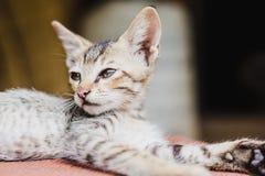 Chiuda su di Kitten Playing nepalese sveglia a casa Fotografia Stock