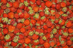 Chiuda su di molte fragole di giardino mature rosse fresche fotografia stock
